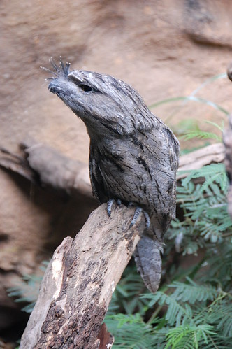 Tawny frogmouth   by brainsnorkel