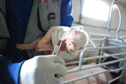Granjas de cerdos   Pigs farms
