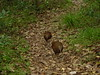 020. Woodhens on Intermediate Hill track by Tony Markham