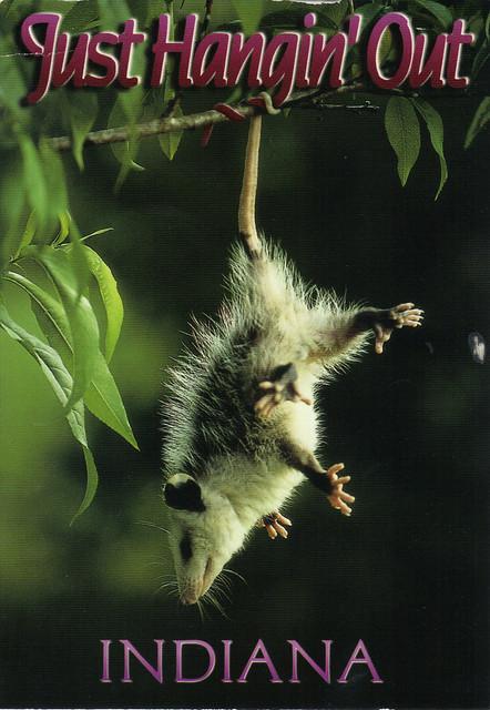 Indian Opossum Postcard