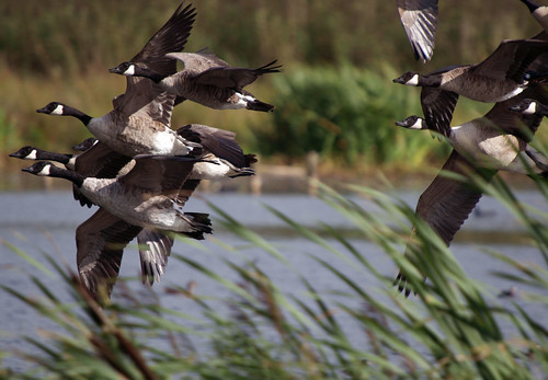 Canada Geese, Leighton Moss August 2009 | by Gidzy