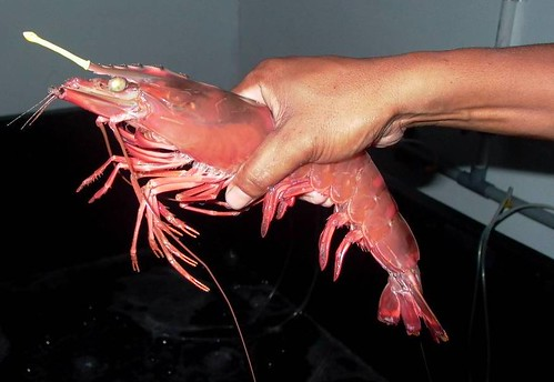 Breeder shrimp | by East Asia & Pacific on the rise - Blog