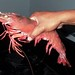 Breeder shrimp