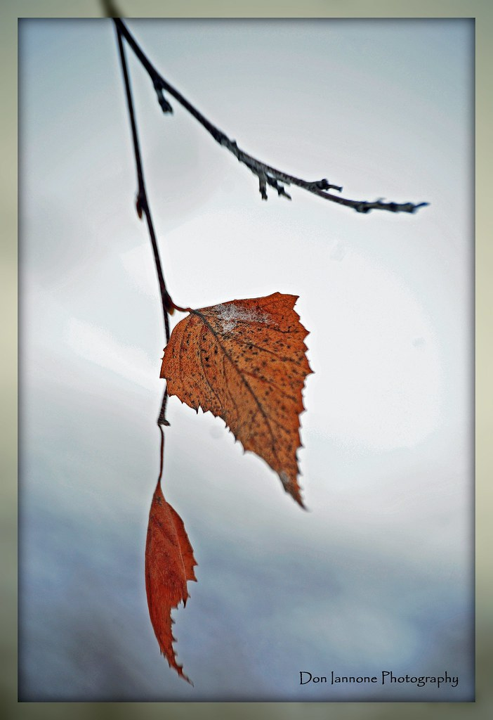 Dangling Winter Leaves (Explore #158) by Don Iannone