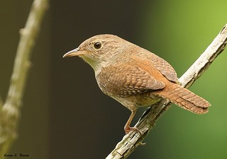 House Wren | by BirdFancier01
