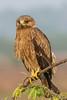 Indian spotted eagle   Clanga hastata   Jan '15   Chennai , Tamilnadu   by Ramakrishnan R - my experiments with light