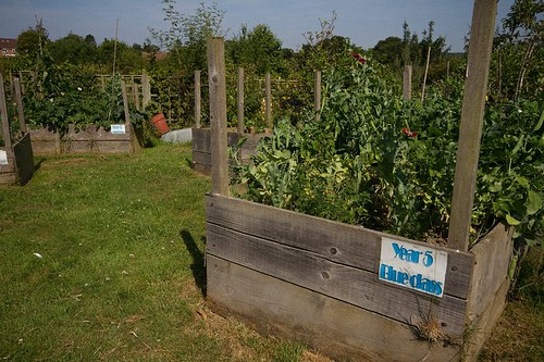 Year 5 - Peas ready for harvest | by Hawkhurst CEP School Web Site Photos