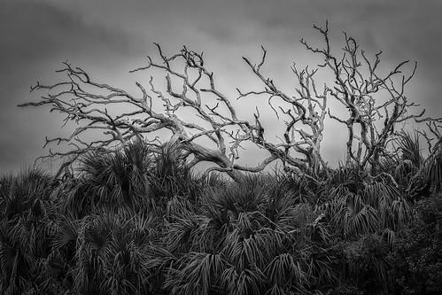bw blackwhite blackandwhite deadtrees monochrome palms trees galveston texas unitedstates us hanks