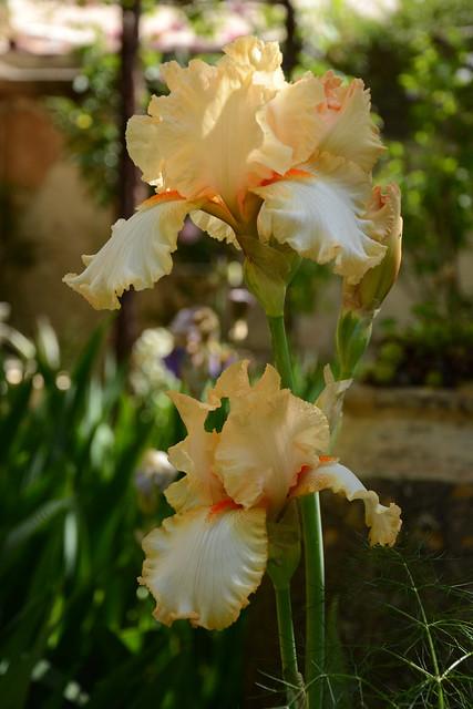Iris 'Marie Flore' - Cayeux 1990 32159660725_b480afdb42_z