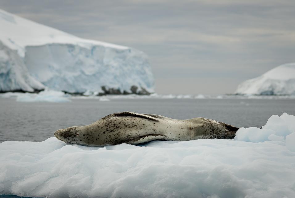 Antarctic Serpent