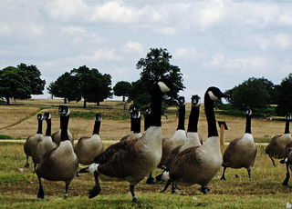 Goose stampede | by London looks
