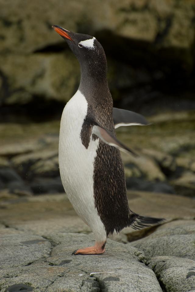 Penguin calisthenics