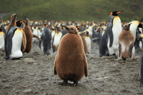 King Penguin Chick at Salisbury Plain | by Liam Quinn