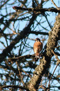 American Kestrel With Rodent