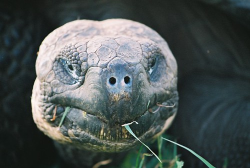 Giant Tortoise | by Karenjw