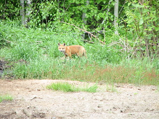 2011-06-05 - Renards - 03 | by Eric Chabot