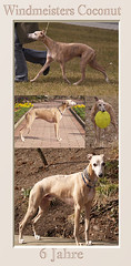 Windmeisters Coconut (Coco) Animagi Whippets | by Nisha und Coco