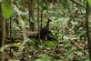 Philippine Scrubfowl (Megapodius cumingii) by Réjôme