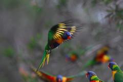 Shattuck_N2-9477, Rainbow Lorikeet, Broulee, NSW by S O Shattuck