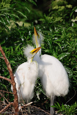 Pair of Great Egret chicks in nest | by Ed Rosack