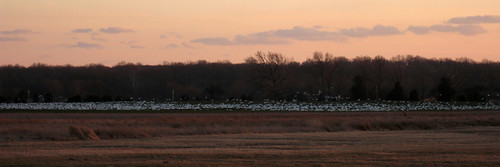 sunset nature field canon geese wildlife panoramic nophotoshop snowgeese ixus950is sd950 ixus950 sd950is