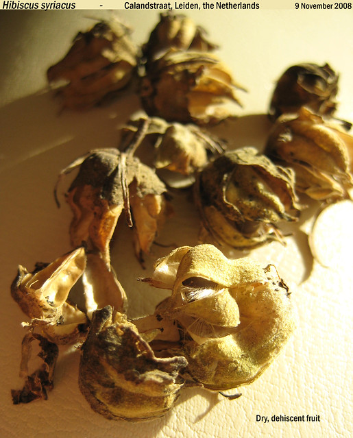 Hibiscus syriacus - dehiscent frt Calandstr, Leiden, NL 9 Nov 2008 01 Leo