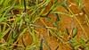 Armyworms in grassland, the main source of food for livestock. Photo: ©FAO/Lesotho/Lechoko Noko |  Chenilles dans une prairie, principale source de nourriture du bétail. Photo: ©FAO/Lesotho/Lechoko Noko