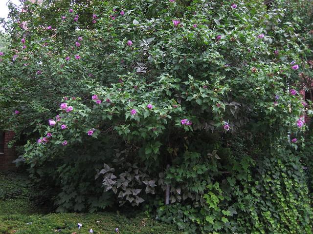 Hibiscus syriacus - Rose of Sharon tree