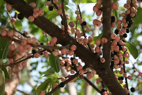 Ficus virens (Moraceae)