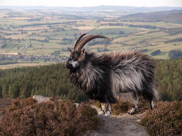 Cheviot Goat 1