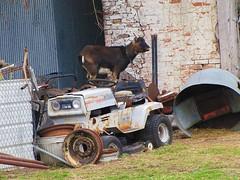 Got your goat!