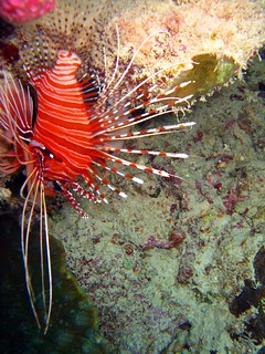 one of our faves--the lionfish, the great barrier reef   by hopemeng