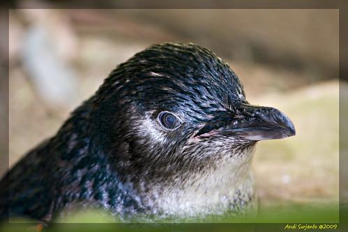 geotagged penguin australia geo:lat=33741658 geo:lon=15104535
