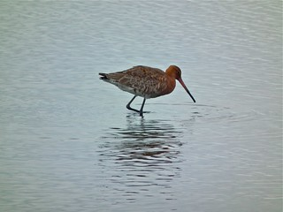 Black-tailed Godwit | by P. Stubbs photo