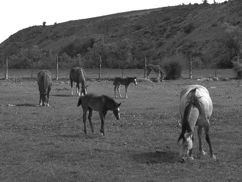 horses blackandwhite colorado pasture montrosecolorado
