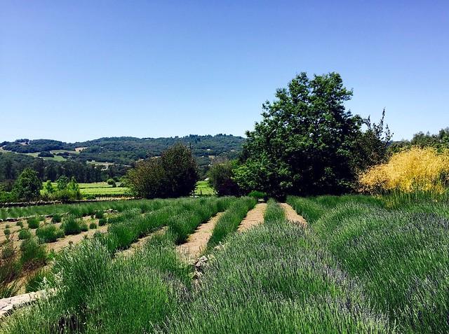Lavender fields forever...