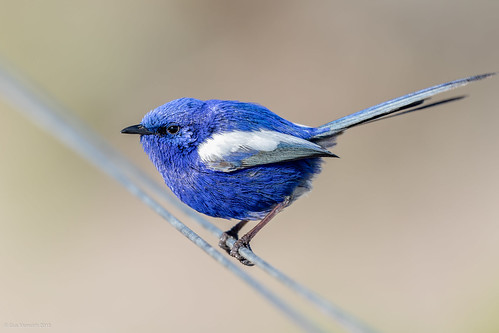 White-winged Fairy-wren | by gus.meredith