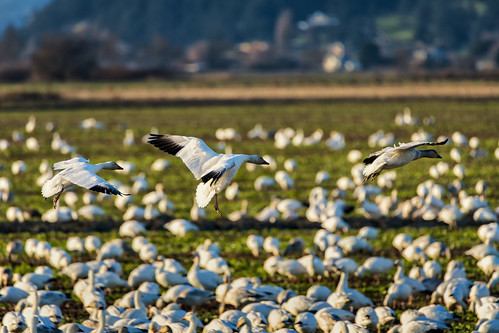 skagitcounty geese field flying