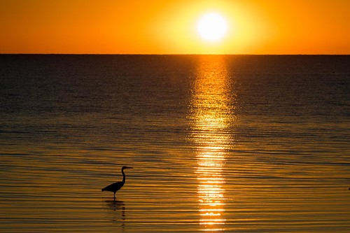 greatblueheron bird wildlife sunset water anahuacnationalwildliferefuge nwr chamberscounty texas gseloff