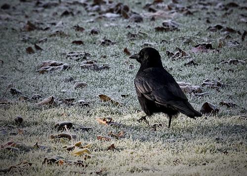 "bird crow ""animal"" outdoor nature kewgardens pentax pentaxk1 aficionados pentaxlife pentaxart ngc kingdomanimalia wildlife"