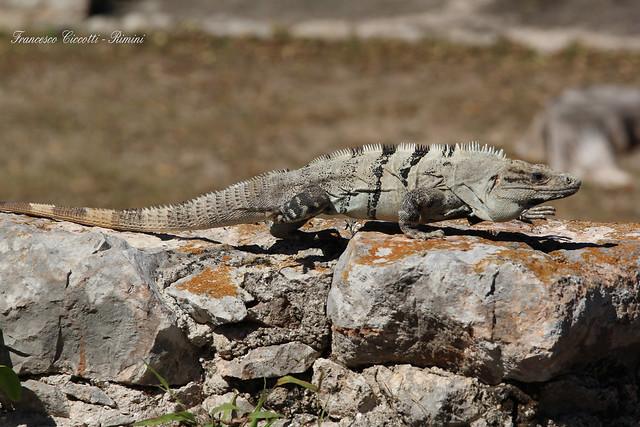 Iguana nera - Ctenosaura Similis