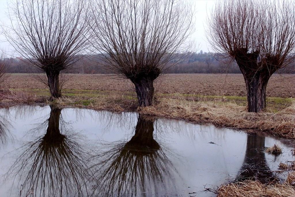 Wierzby / Willows