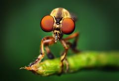 Robber Fly - (Holcocephala fusca) | by Thomas Shahan