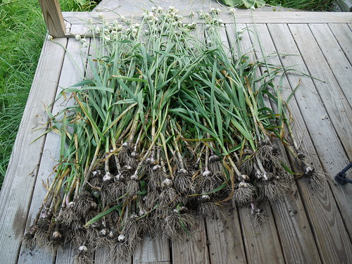 Garlic harvest | by grongar