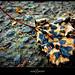 Tiger Leaf (17 September 2009) by alephnaught