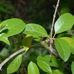唇形科 Clerodendrum inerme (L.) Gertn. 苦林盤 96特生