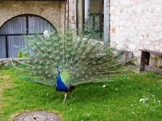 Peacock at Sveti Naum, Macedonia | by David&Bonnie