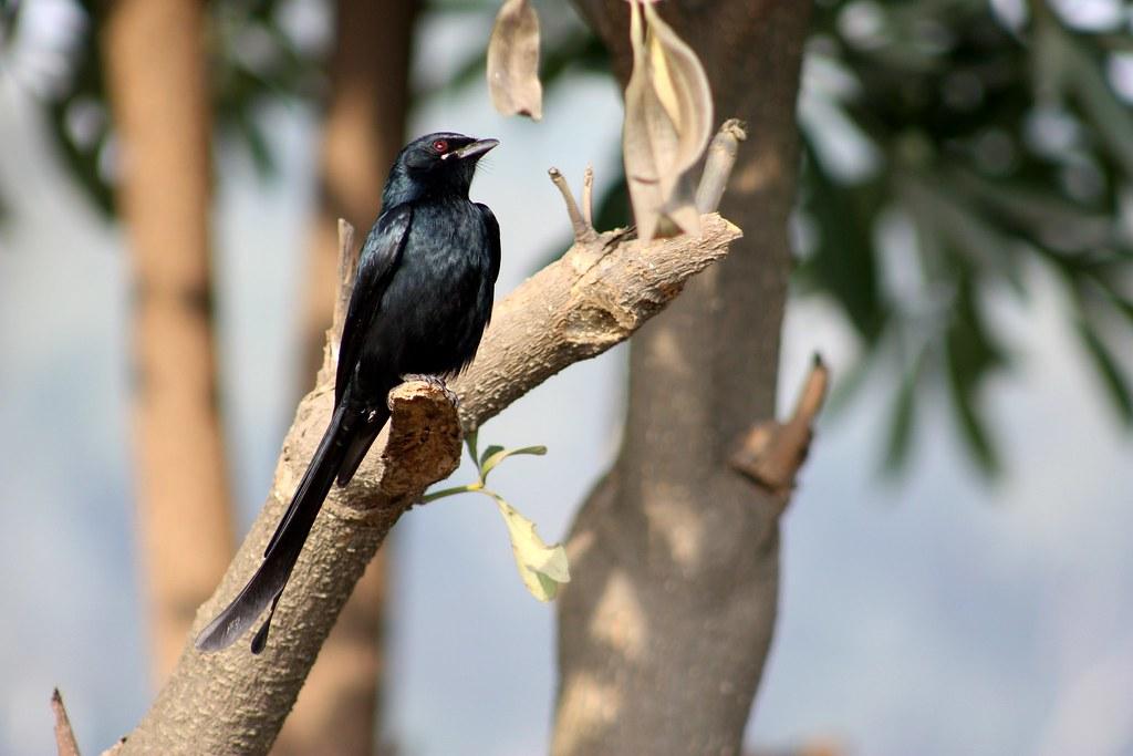 ababeel bird hd