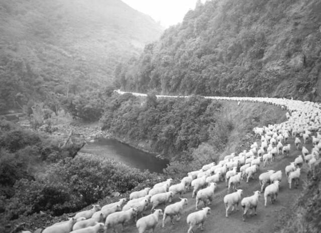 2,600 sheep on the road, Waioeka Gorge, after a 60 mile drive
