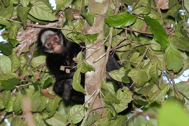 White-whiskered Spider Monkey _01V0213